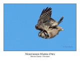 Northern Hawk-Owl-048