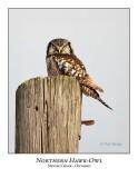 Northern Hawk-Owl-049