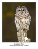 Barred Owl-020