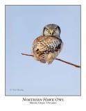 Northern Hawk-Owl-050