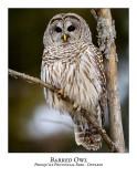 Barred Owl-023