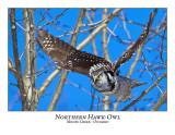 Northern Hawk-Owl-053