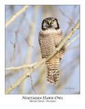 Northern Hawk-Owl-054