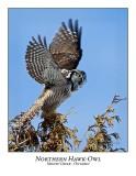 Northern Hawk-Owl-055