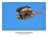 Northern Hawk-Owl-056