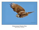 Northern Hawk-Owl-057
