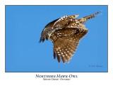 Northern Hawk-Owl-058