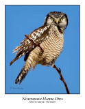 Northern Hawk-Owl-059