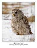 Barred Owl-024