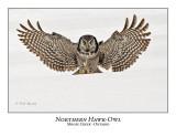 Northern Hawk-Owl-062