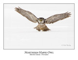 Northern Hawk-Owl-068