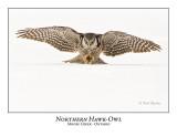 Northern Hawk-Owl-070