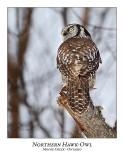 Northern Hawk-Owl-077