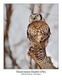 Northern Hawk-Owl-078