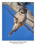 Northern Hawk-Owl-081