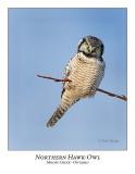 Northern Hawk-Owl-082