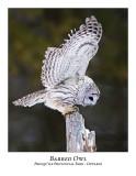 Barred Owl-025