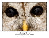 Barred Owl-027