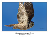Northern Hawk-Owl-083