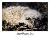 Great Horned Owl-019