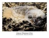 Great Horned Owl-021