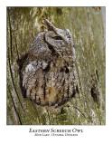 Eastern Screech Owl-002