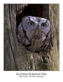 Eastern Screech Owl-003