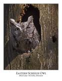 Eastern Screech Owl-004