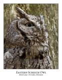 Eastern Screech Owl-006