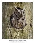 Eastern Screech Owl-007