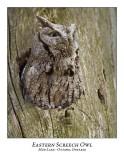 Eastern Screech Owl-008