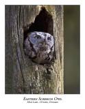 Eastern Screech Owl-009
