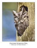Eastern Screech Owl-010