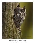 Eastern Screech Owl-011