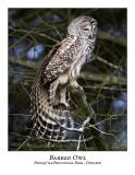 Barred Owl-028