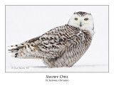 Snowy Owl-089