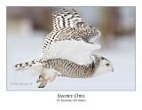 Snowy Owl-091