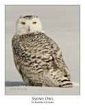 Snowy Owl-095