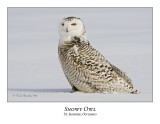 Snowy Owl-096
