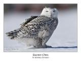 Snowy Owl-098