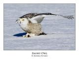 Snowy Owl-099