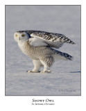 Snowy Owl-100