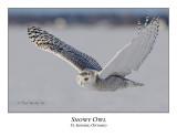 Snowy Owl-101