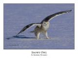Snowy Owl-102