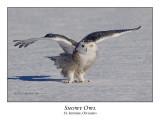 Snowy Owl-103