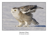 Snowy Owl-105