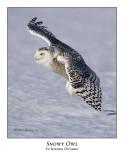 Snowy Owl-106