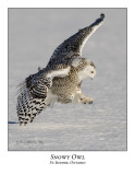 Snowy Owl-108