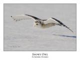 Snowy Owl-110