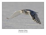 Snowy Owl-111